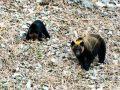 熊出没主意!日本北海道棕熊袭击民宅3只家犬1死2伤